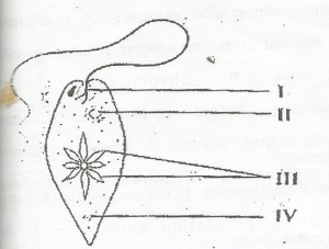 In the diagram, the part labelled II is the?